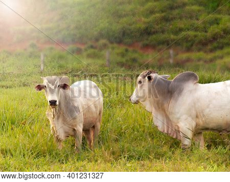 Nellore Bull In The Pasture Of Making In Brazil. Main Cattle In The Production Of Meat In The Brazil