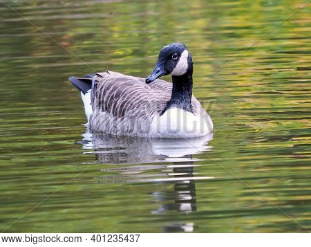 Canadian Goose Swimming In A Lake With Ripples In The Water, Water Fowl In Nature.