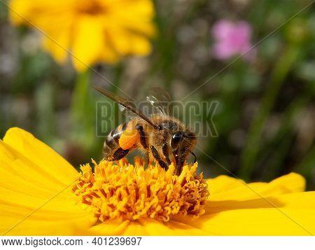 Closeup Worker Bee Pollinating Yellow Flower In Beautiful Garden. Wild Honey Production