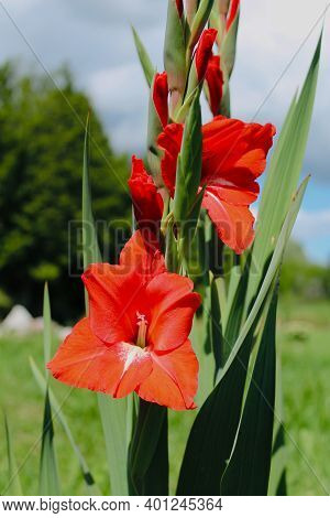 One Red Gladiolus Grows Near The House