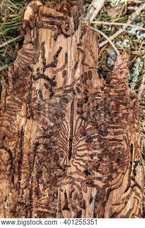 The Detail Of The Bark Of The Tree Infested By Bark Beetle.