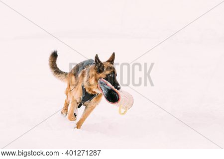 German Shepherd Dog Holding Training Sleeve In Jaws And Running On Snow. Winter Training Of Purebred