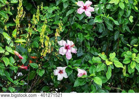 A Bush With Light Pink Hibiscus Flowers Growing In A Garden In Alanya (turkey). Large Delicate Five-