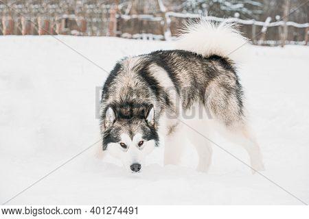 Alaskan Malamute Sniffing Snow Outdoor. Winter Season.