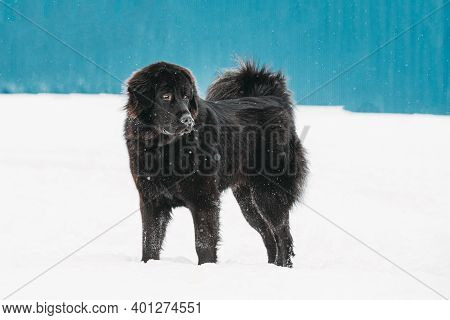 Dog Newfoundland Walk Outdoor In Snow At Winter Day.
