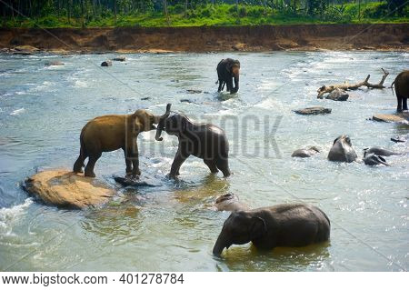 Elephants Bath In A River At Pinnawala Elephants Orphanage. Sri Lanka
