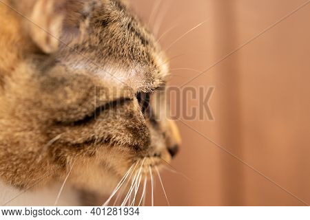 Side View Of The Female Cat. The Head Of The Cat In A Close-up Shows A Large Eye And A Protruding Ea