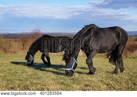 Black Friesian Horses On The Pasture. Czech Republic