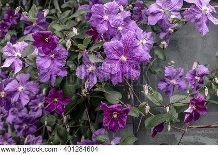 Beautiful Purple Clematis Flowers Blooming In The Summer Garden.