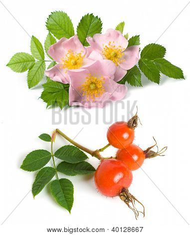 Dog rose (Rosa canina) flowers and fruits on a white background