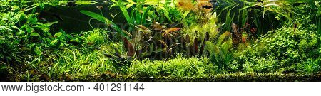 A Green Beautiful Planted Tropical Freshwater Aquarium With Fishes,zebra Angelfish Pterophyllum Scal