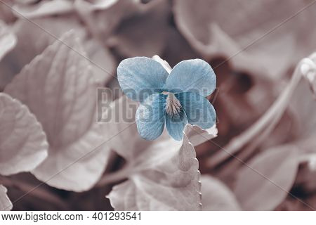 Defocused Tinted Background With A Blooming Violet. Selective Focus