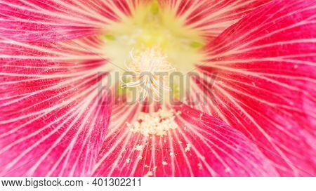 Close Up Of A Pollen Of Pink Hollyhocks Flower.