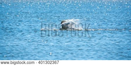 A White Swan Landed On The Water With A Spray. The Mute Swan, Latin Name Cygnus Olor.