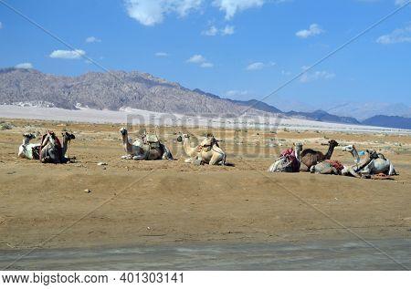 Camels on the sand, popular tourist place. Egypt, Sharm El Sheikh