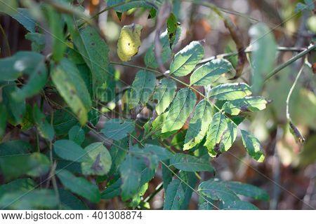 Green Pinnately Compound Lanceolate Leaves Of Southern Black Walnut, Juglans Californica, Juglandace