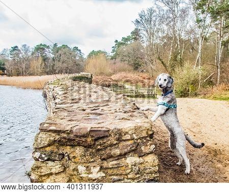 Silver Poodle At Frensham Little Pond, Surrey, England. United Kingdom. The Retaining Stone Wall.