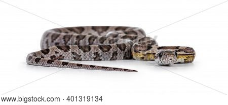 Eye Level Front View Of Young Ghost Colored Cornsnake Aka Elaphe Guttatus Or Pantherophis Guttatus,