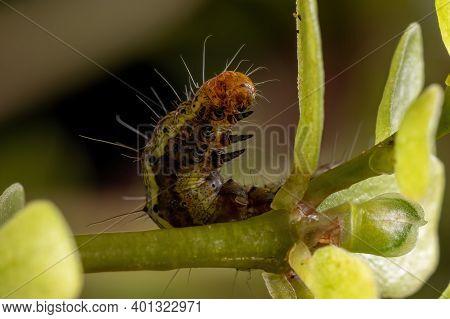 Caterpillar Eating A Common Purslane Plant
