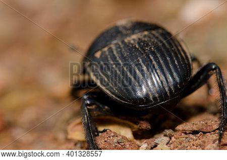 Back View Of A Earth-boring Dung Beetle Scarabaeus Laticollis. Monfrague National Park. Caceres. Ext
