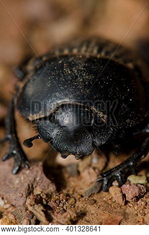 Earth-boring Dung Beetle Scarabaeus Laticollis Seen From The Front. Monfrague National Park. Caceres