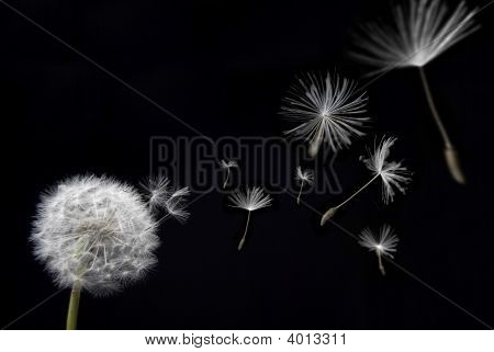 Dandelion With Floating Seeds