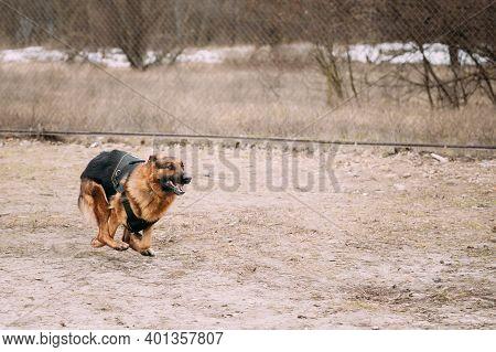 Fast Running German Shepherd Dog At Training. Alsatian Wolf Dog.