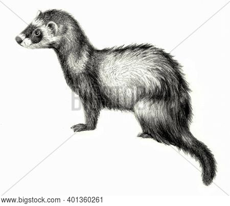 Ferret. Realistic Pencil Drawing On White Background