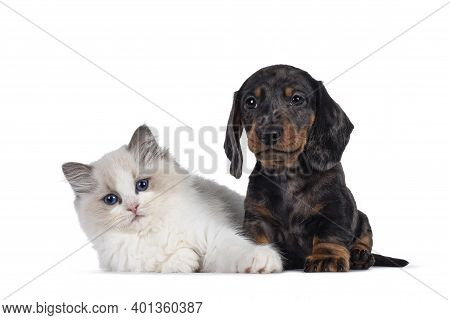 Cute Ragdoll Cat Kitten And Dachshund Aka Teckel Dog Pup, Sitting And Laying Together. Looking Towar