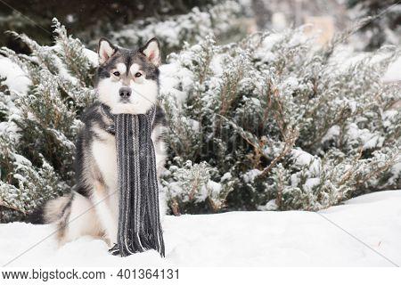 Young Alaskan Malamute Sitting In Grey Scarf In Snow. Dog Winter.