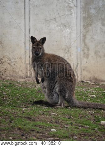 Female Red-necked Wallaby Bennetts Marsupial Macropus Rufogriseus With Baby Joey In Pouch Looking At