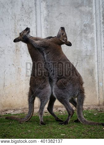 Two Red-necked Wallaby Macropus Rufogriseus Bennetts Standing Playful Fighting Hugging In Bleichnau