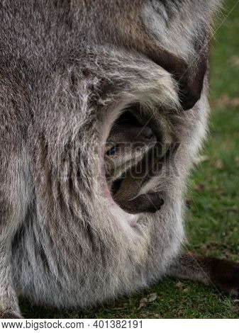 Closeup Of Open Pouch Baby Joey Of Female Red-necked Wallaby Bennetts Macropus Rufogriseus In Bleich