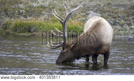 Close Up Of A Elk Bull Drinking At Yellowstone National Park In Wyoming