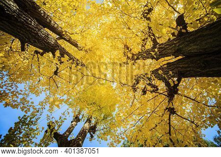 Yellow Leaves Of Ginkgo Biloba On The Branches Of Trees On An Autumn Day
