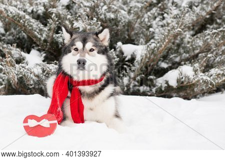 Lying Alaskan Malamute In Red Scarf With Heart Gift Box. Valentine Day. Dog