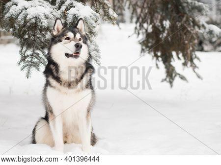 Young Beautiful Alaskan Malamute Sitting In Snow. Dog Winter.