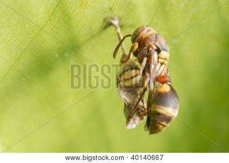 A Hornet Building It's Nest
