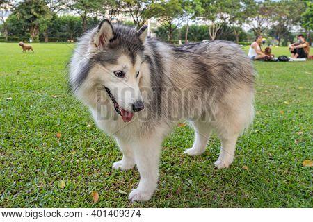 Horizontal Portrait Of Large Alaskan Malamute Dog At The Park