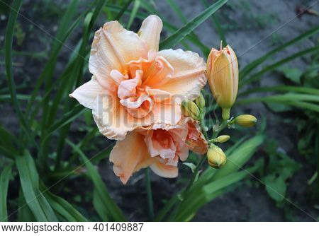 Peach Magnolia.luxury Flower Daylily In The Garden Close-up. The Daylily Is A Flowering Plant In The