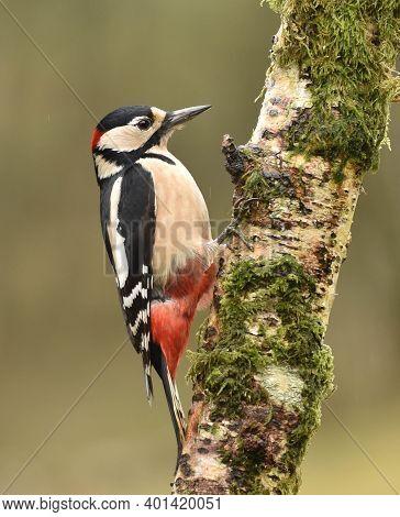 Greater Spotted Woodpecker On Mossy Silver Birch Tree