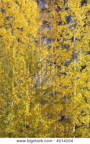 Yellow Gold Quaking Aspen Trees Leaves Close Up Leavenworth Washington