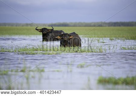 Water Buffalo In Tropical Swamp At Thalae Noi ,phatthalung, Southern Thailand