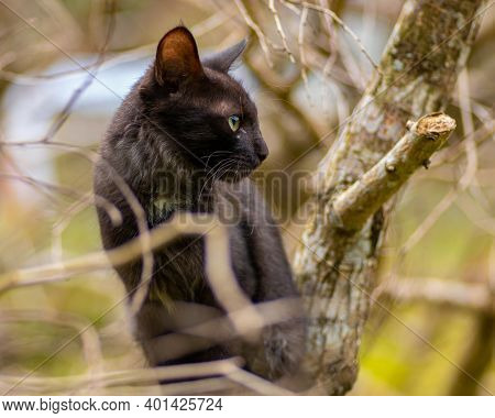 Tiger Like Pose On A Tree Branch Domestic Cat Photographed Through The Branches, The Cat Looking Its