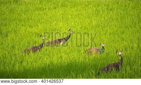 Group Of Peahens Crossing The Paddy Field In The Evening, Searching For A Mate. They Are Very Loud B