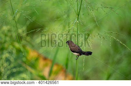 Isolated White-rumped Munia Bird Eats Seeds In The Grass. These Small Cute Birds Are Common In Rice