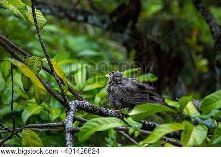 Yellow-billed Babbler Bird Taking Shelter In The Trees In The Rain. Common Household Birds In Sri La