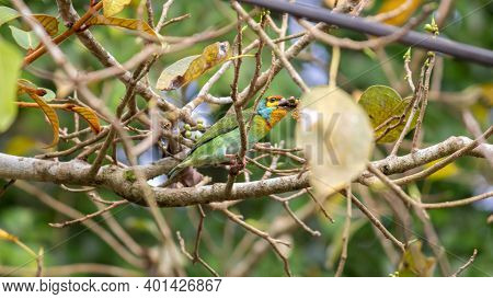 Crimson-fronted Barbet Also Known As Sri Lankan Barbet, Eating Fruits And Seeds,