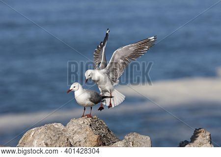 Hartlaub's Gull Or King Gull, Larus Hartlaubii, Adult In Flight, Landing On Rocks, Hermanus In South