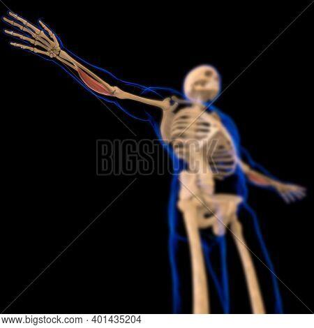 Flexor Carpi Radialis Muscle Anatomy For Medical Concept 3D Illustration